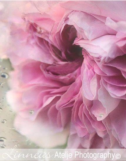 rain rose garden nature photography