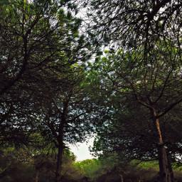 pinewoods sunnylight naturephotography