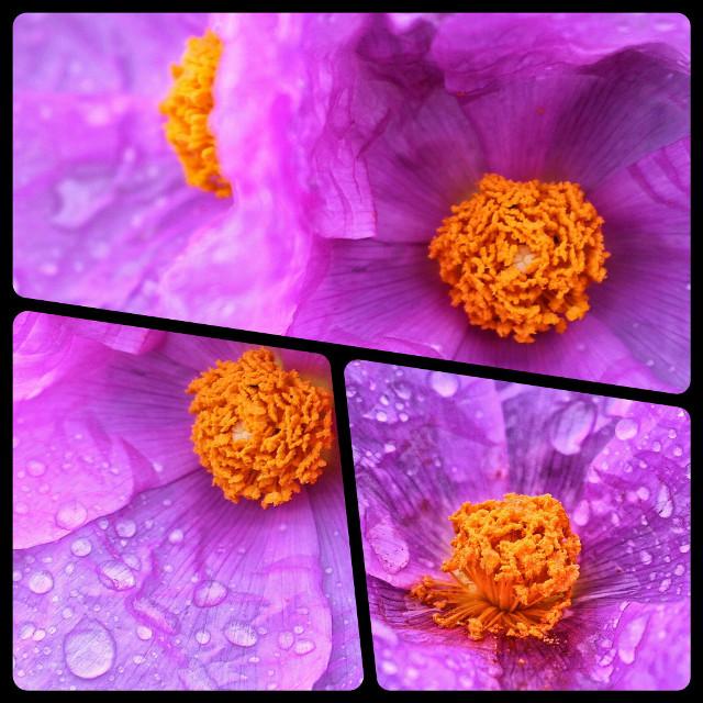 #dpcpurple #pcpurple #purple #pcmacro #macro