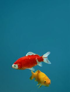 freetoedit koi fish blue artwork