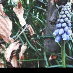 freetoedit floralphotography seasonal lavender garden