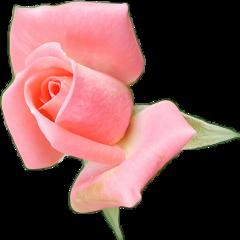 rosabotoon